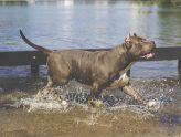 Ley de Perros Potencialmente Peligrosos Madrid