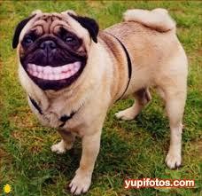 smile pug